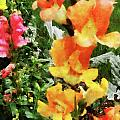 Colorful Snapdragons by Susan Savad