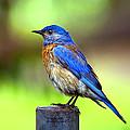 Colorful - Western Bluebird by James Ahn