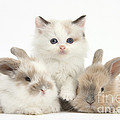 Colorpoint Kitten With Baby Rabbits by Mark Taylor
