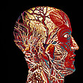 Colour Artwork Of Nerve & Blood Supply Of Head by Mehau Kulyk
