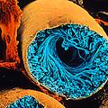 Colour Sem Of Seminiferous Tubule Of The Testis by Cnri