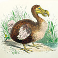 Coloured Engraving Of A Dodo by Dr Jeremy Burgess