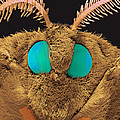 Coloured Sem Of The Head Of A Silk Moth, Bombyx Sp by Volker Steger