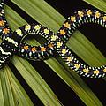 Colubrid Snake Boiga Sp A Flying Snake by Mark Moffett