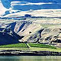 Columbia River Gorge Vineyard