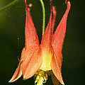 Columbine by Cheryl Cencich