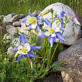 Columbine Colorado State Flower by James Steele