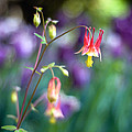 Columbine Flower by Laura George