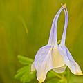 Columbine by Heidi Smith