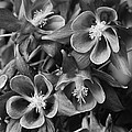 Columbine In Black And White by Bruce Bley