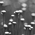 Coming Up Daisies Abstract In Black And White by Kathy Clark