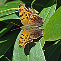 Comma Anglewing Butterfly - Polygonia C-album by Mother Nature