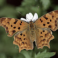 Comma Polygonia C-album, Germany by Hans Christoph Kappel