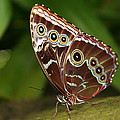 Common Blue Morpho by Laurel Talabere