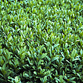 Common Box (buxus Sempervirens) by Archie Young