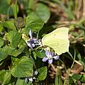 Common Brimstone by Jouko Lehto