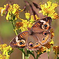 Common Buckeye  by Bruce J Robinson