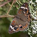 Common Buckeye Butterfly Din182 by Gerry Gantt