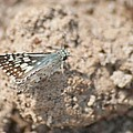 Common Checkered Skipper 8793 3421 by Michael Peychich
