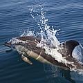 Common Dolphin Delphinus Delphis by Konrad Wothe