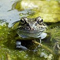 Common Frog by Dr Jeremy Burgess