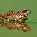 Common Frog Rana Temporaria by Ingo Arndt