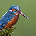 Common Kingfisher Alcedo Atthis by Ingo Arndt