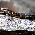 Common Lizard by Gavin Macrae