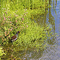 Common Moorhen At The Waters Edge by Roena King