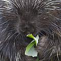 Common Porcupine Erethizon Dorsatum by Matthias Breiter