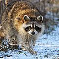 Common Raccoon by Mircea Costina Photography