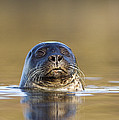 Common Seal by Duncan Shaw