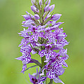 Common Spotted Orchid by Jacky Parker