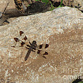 Common Whitetail Dragonfly by Donna Brown