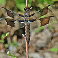Common Whitetail Dragonfly - Plathemis Lydia - Female by Mother Nature