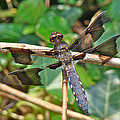 Common Whitetail Dragonfly - Plathemis Lydia - Male by Mother Nature