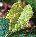 Concord Grape Plant by Science Source