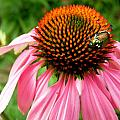 Cone Flower And Guest by Stephanie Moore