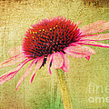 Cone Flower by Darren Fisher