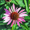 Cone Flower by Steve McKinzie