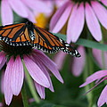 Cone Flowers And Monarch Butterfly by Kay Novy