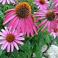 Cone Flowers In Bloom by Sharon Lee Samyn