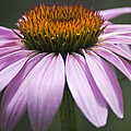 Coneflower Visitor by Teresa Mucha