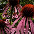 Coneflowers by Renate Nadi Wesley