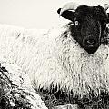 Connemara Sheep by David Resnikoff