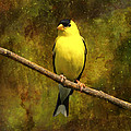 Contemplating Goldfinch by J Larry Walker