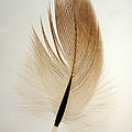 Contour Feather by David Salter