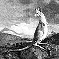 Cook: Kangaroo, 1773 by Granger