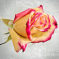 Cool Creme Rose by James Rowland