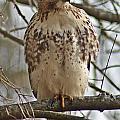 Cooper's Hawk 1 by Joe Faherty